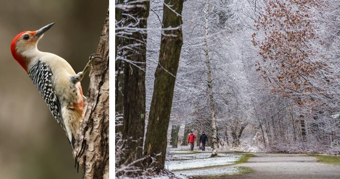 À gauche: Pic à ventre roux photographié par Alain Daigle. À droite, le très agréable Parc Terre-des-Jeunes, crédit photo: Guy Samson.
